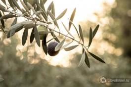 Оливковая роща в пустыне. Киббуц Сде-Бокер.