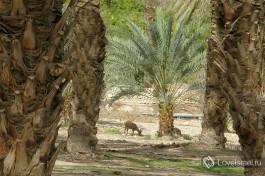 Эйн-Геди. Зеленый оазис в пустыне.