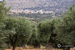 Оливковая плантация около друзской деревни Мрар.