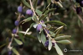 Спелые оливки на дереве.