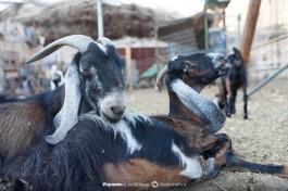 И козлам на верблюжьем ранчо тоже раздольно!