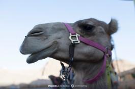 Эйлатский верблюд.