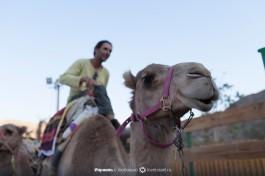 Караван верблюдов направляется на прогулку.