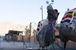 Верблюды на ранчо.