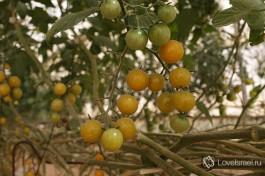 Желтые помидоры Шерри в теплице на ферме Швиль-а-Салат.