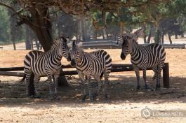 А в зоопарке Сафари в Рамат-Гане вам придется быть осторожными при опускании окон... в салон может засунуть голову наглый страус-попрошайка :)