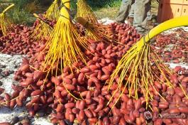 Плоды земли Израиля - спелые финики, только что собраные с пальм.