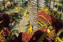 Сбор урожая. Финик - один из национальных символов Израиля.