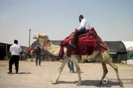 Ну и конечно, не упустите свой шанс покататься на верблюдах по израильским пескам!