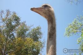 Наглый страус в израильском зоопарке Сафари.