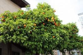 Апельсиновые деревья прямо на улице. Сюр :)