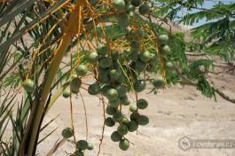 Финиковая пальма: неожиданная зелень среди камня и песка.