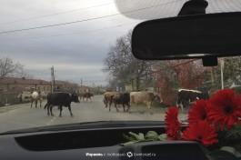 И еще грузинские коровы.