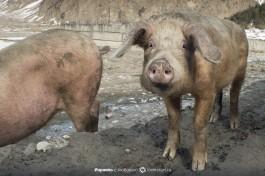 Грузинские свинки.