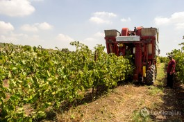 Автоматический сбор урожая винограда в Израиле.