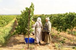 Жители окрестных арабских сел на сборе урожая.