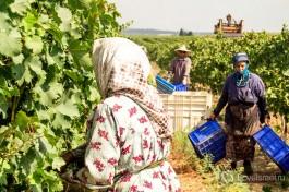 Каждая работница собирает до 4-х тон винограда в день.