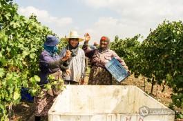Сюда рабочими собирается виноград.