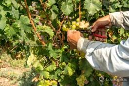 Чтобы не навредить лозе, гроздья винограда обрезаются специальными ножницами.