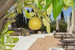 Настоящий израильский грейпфрут.